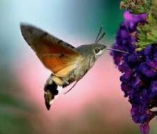 kolibrievlinder.png